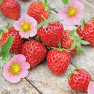 QVC Gardening: Thompson & Morgan Strawberry Just add Cream Basket Collection