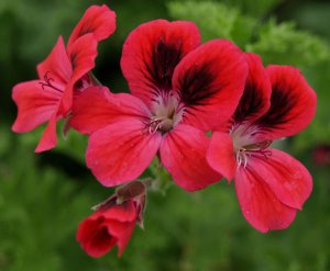 Pelargonium: Decorative 'Freya Gowlrey'