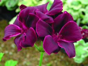 Pelargonium: 'Lord Bute' is 105 years old!