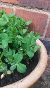 Urban Gardening: 6 small space veg garden hacks