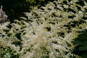 Astilbe (False Goatsbeard)