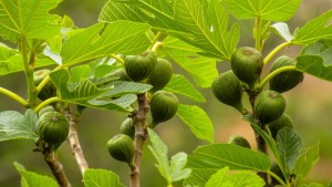 Nudity-friendly plants for World Naked Gardening Day: Ficus carica