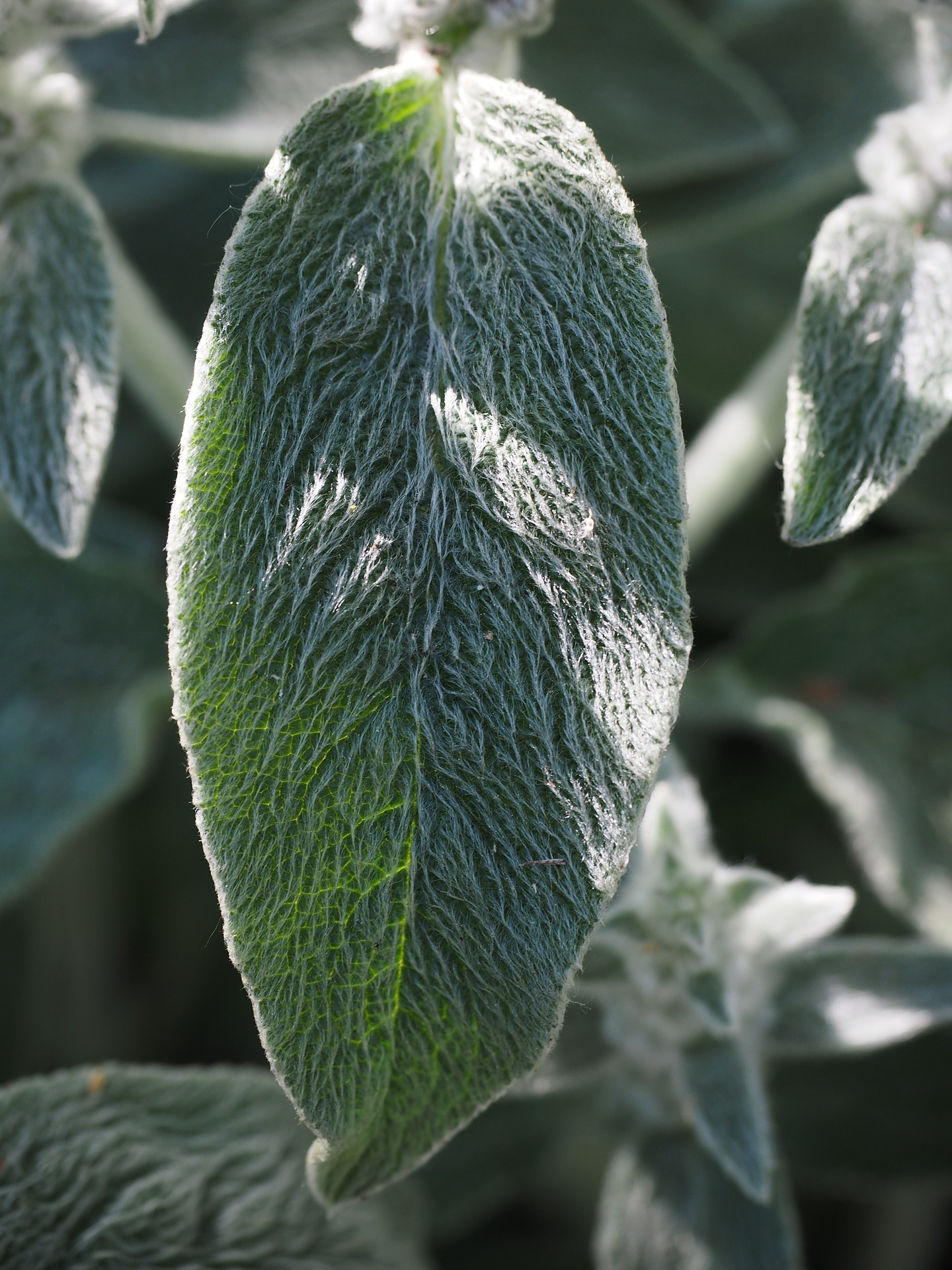 Nudity-friendly plants for World Naked Gardening Day: Stachys lanata