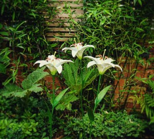 Cat friendly lilies