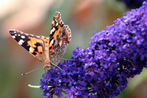 Big Butterfly Count 2018