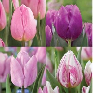 Tulips - Purple Perfection