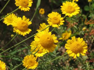 Wind-proof Plants: Anthemis tinctoria