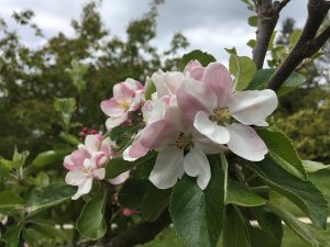 Plants for a Family Garden: Apple Tree