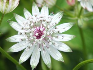 Plants for Shady Areas: Astrantia major