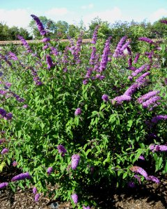 Plants for a Family Garden: Buddleia