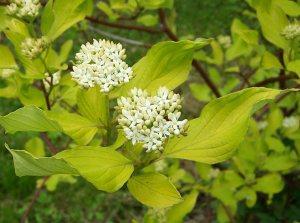 Plants for Damp Areas: Cornus-alba