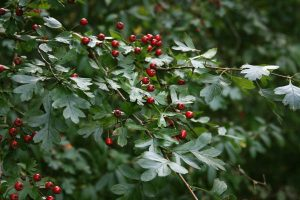 Wind-proof Plants: Crataegus monogyna