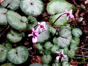Plants for Shady Areas: Cyclamen coum