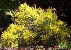 Plants for Dry Areas: Cytisus x praecox