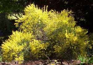 Plants for Dry Areas: Cytisus x praecox