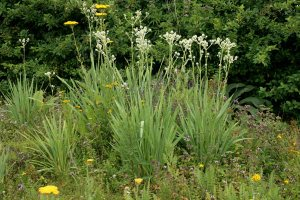 Plants for Dry Areas: Eryngium agavifolium