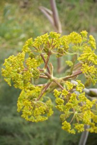 Plants for Dry Areas: Ferula communis