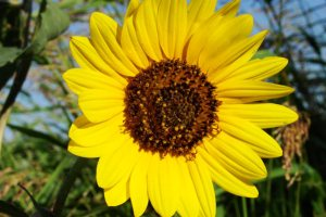 Plants for a Family Garden: Sunflower