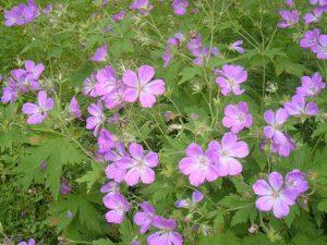 Plants for a Shady Garden: Geranium sylvaticum