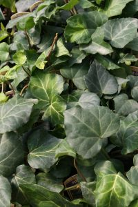 Plants for Shady Areas: Hedera colchica
