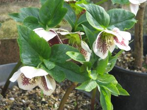 Plants for Shady Areas: Helleborus x hybridus