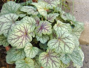 Plants for Shady Areas: Heuchera Americana