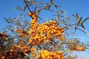 Wind-proof Plants: Hippophae rhamnoides