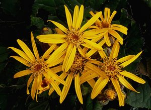 Plants for Damp Areas: Ligularia dentata 'Desdemona'