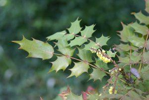 Wind-proof Plants: Mahonia Japonica
