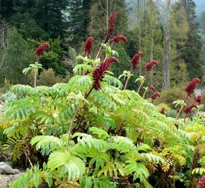 Plants for Dry Areas: Melianthus major