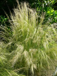 Wind-proof Plants: Nassella tenuissima