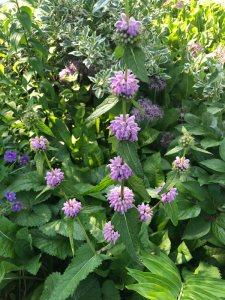 Plants for Dry Areas: Phlomis tuberosa 'Amazone'