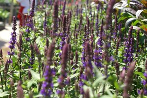 Plants for Dry Areas: Salvia nemorosa 'Caradonna'