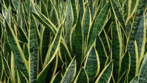 5 plants to help you sleep: Snake Plant