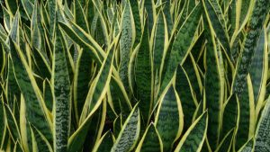 5 plants to help you sleep: Snake Plant