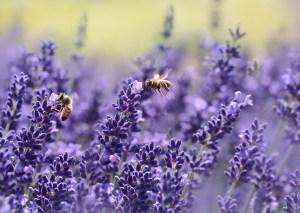 Plants for a Family Garden: Lavender