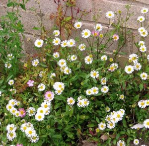 Plants for a Family Garden: Mexican flea bane
