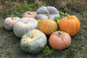 Plants for a Family Garden: Pumpkins