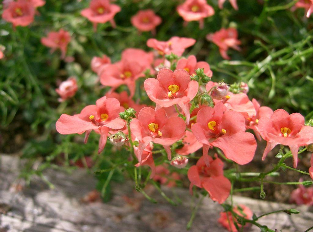 Diascia 'Coral Belle'