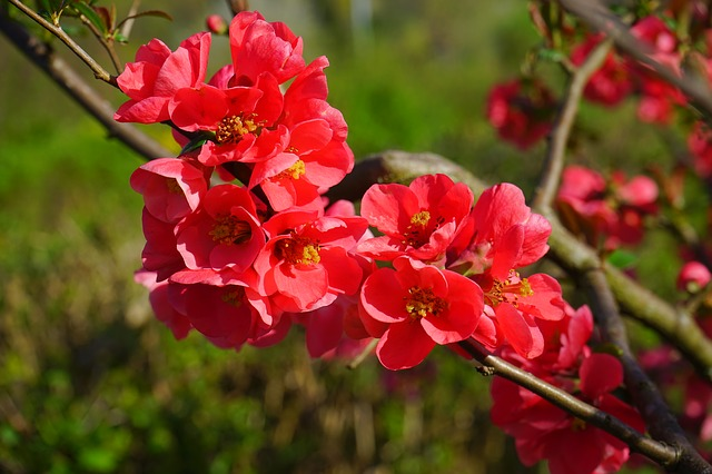 Japanese Ornamental Quince