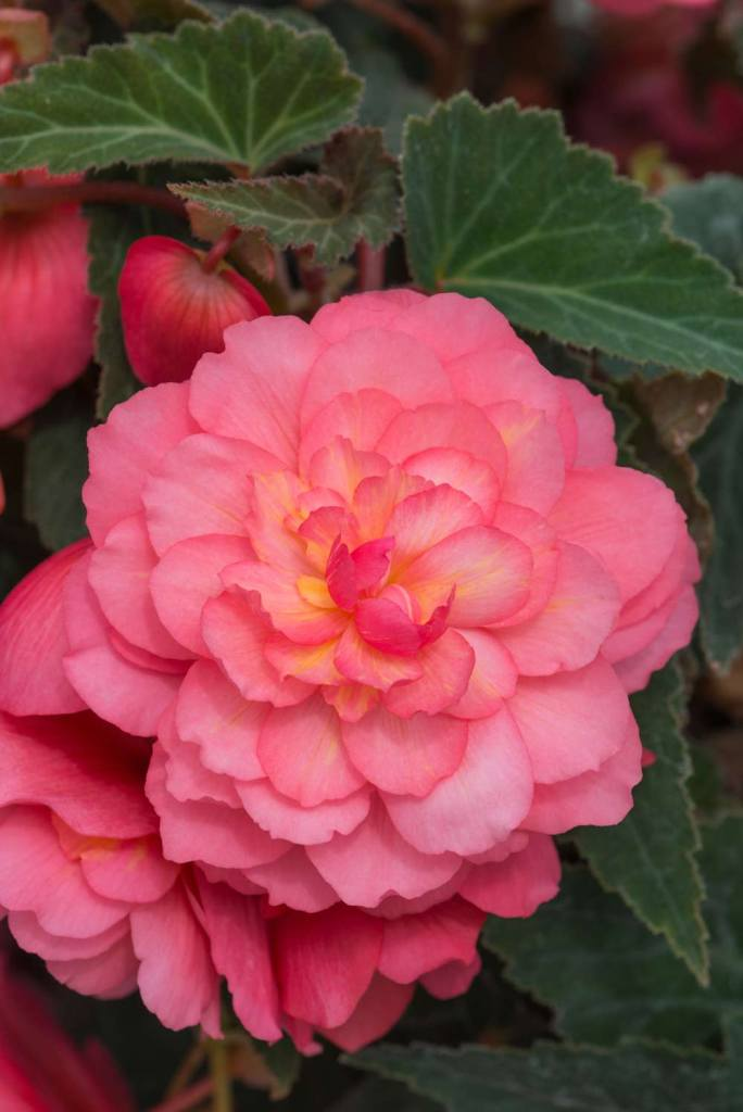 QVC Gardening - February Highlights: Scented Begonias