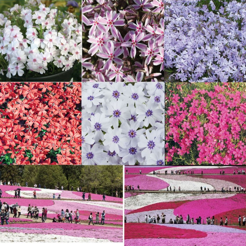 Mont Rose 18 x Carpet Phlox Young Plants