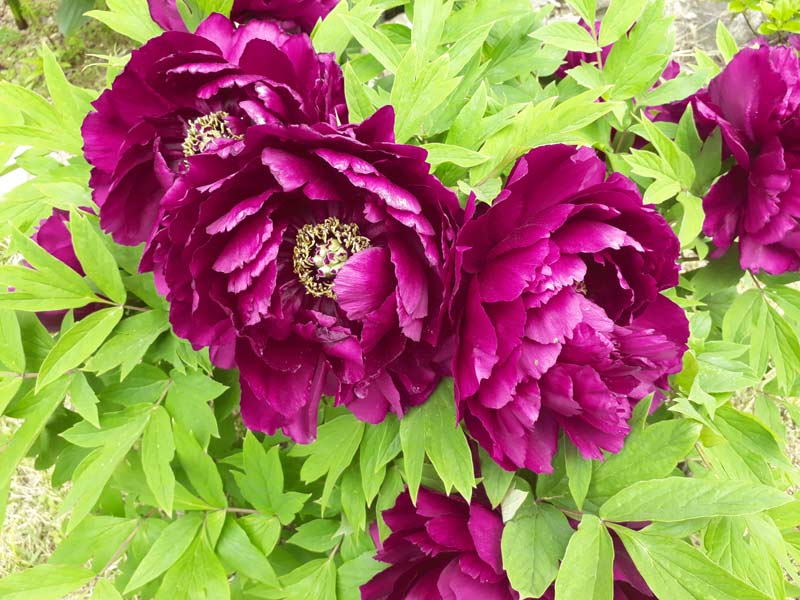 QVC Gardening - February Highlights: Tree Peonies