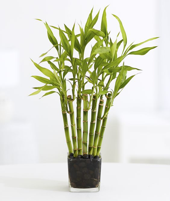 Lucky plants: Lucky bamboo