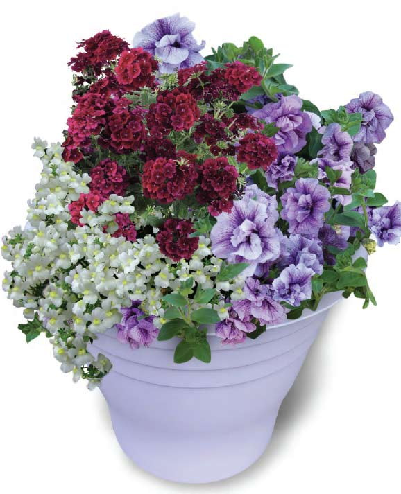QVC Gardening - February Highlights: Summer Bedding Collection Lilac