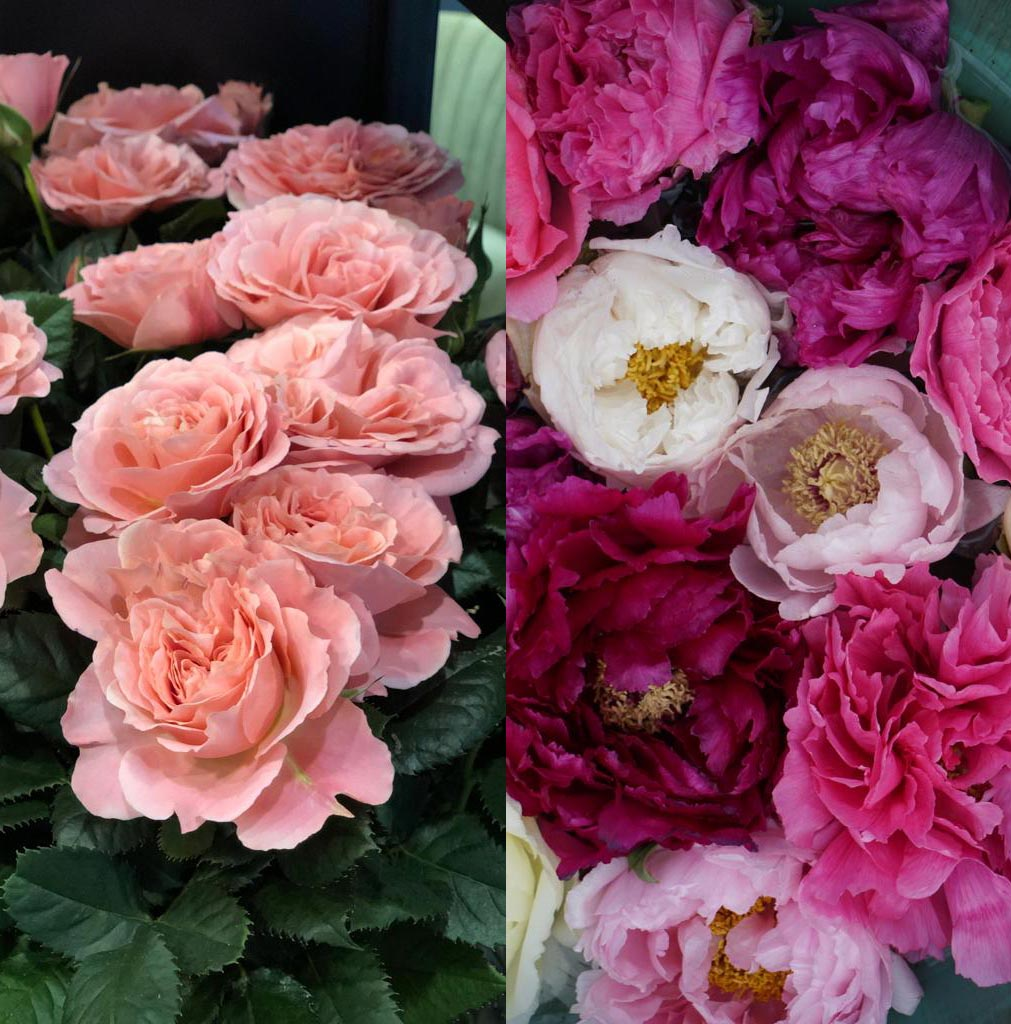 Roses vs Peonies - the Plant-Off