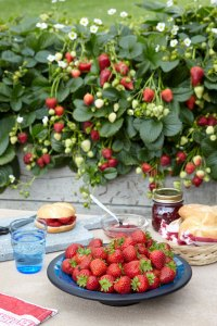 How to Grow Strawberries at Home: Delizz Strawberry Plants