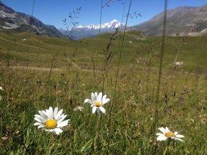 Wildflower meadow under the gaze of Mont Blanc