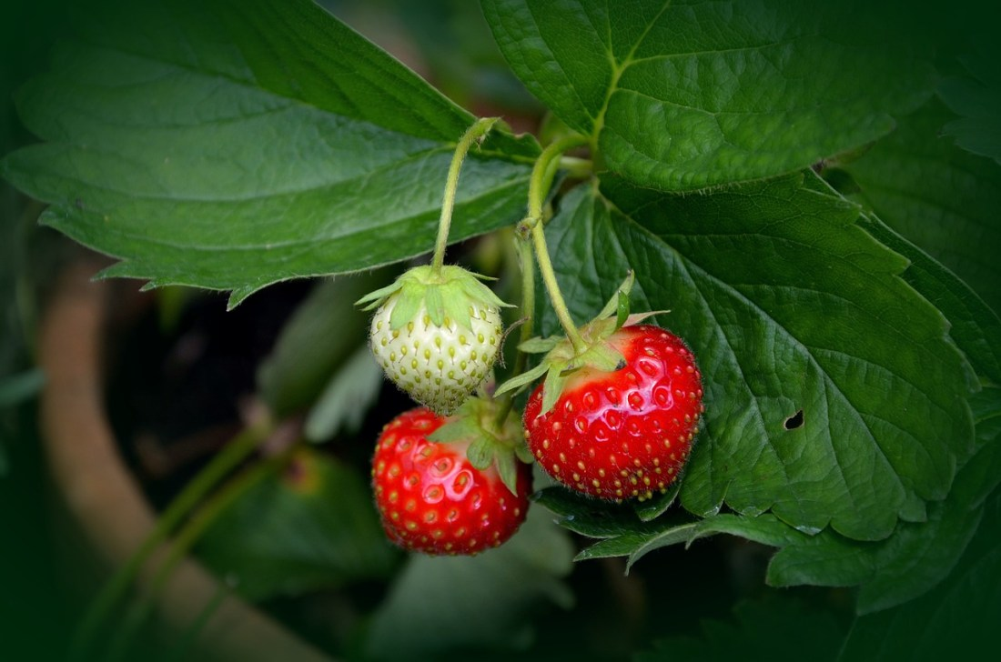 Strawberry plant growing