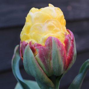 Tulip Banana Ice Cream